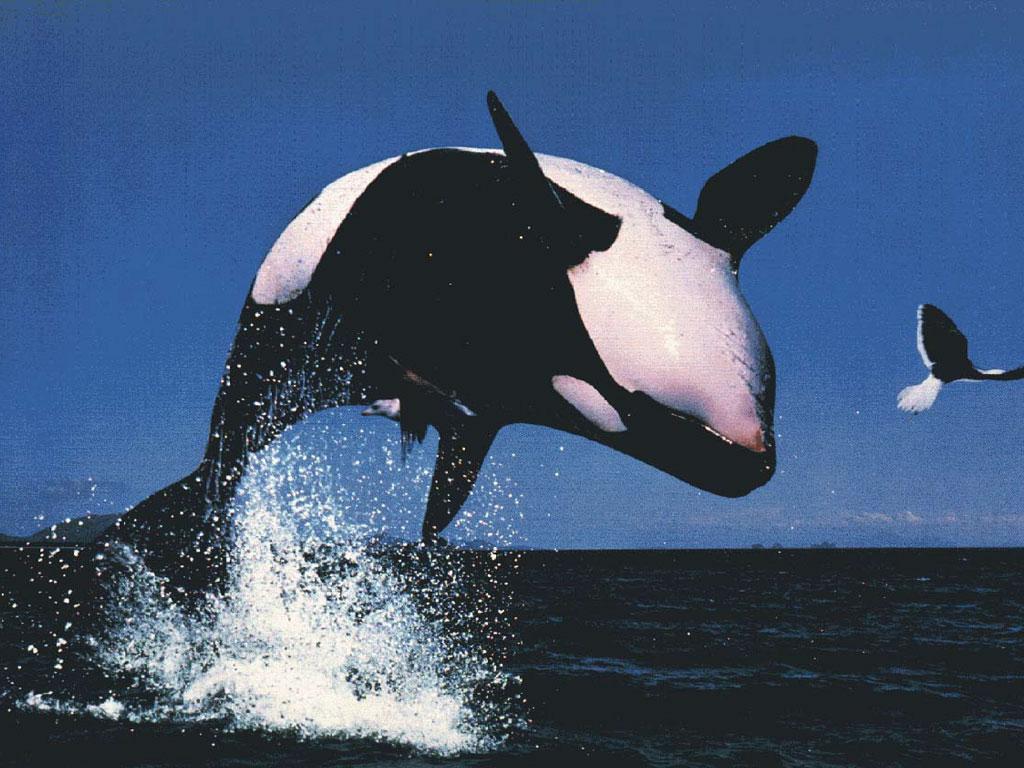 .::Orca::. Orca