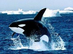 orca glaciar